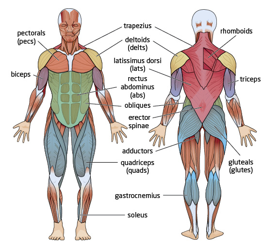 major muscles groups |, Muscles