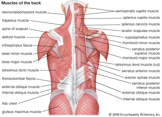 Back Muscles Pictures 34